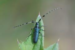 一只长有角的甲虫 免版税库存图片