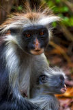 一只长毛的猴子和她的小狗在非洲桑给巴尔 图库摄影
