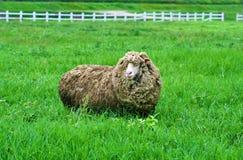一只长的头发绵羊 免版税库存图片