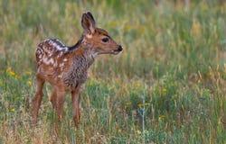 一只长耳鹿小鹿在一个象草的草甸在一个春天早晨 免版税图库摄影