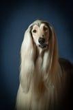 一只阿富汗猎犬的画象 库存照片