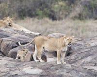 一只雌狮和一头狮子和一崽在一个大灰色岩石 免版税库存图片