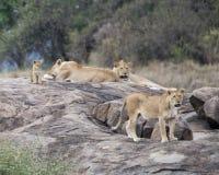 一只雌狮和一头狮子和一崽在一个大灰色岩石 库存图片