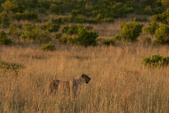 一只雌狮在一片草原在Pilanesberg 免版税库存图片