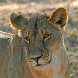 一只雌狮在南非 库存照片