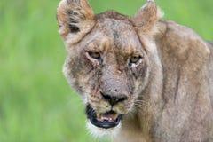 一只雌狮早晨(纵向) 库存图片