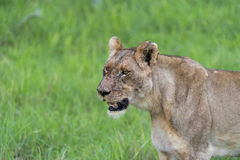 一只雌狮早晨(2) 免版税库存照片