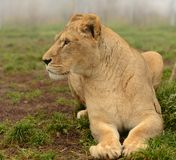 雌狮旁边画象  免版税库存照片