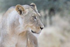 一只雌狮的特写镜头在寻找风雨棚的软的卡拉哈里雨中 库存照片