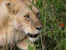 一只雌狮的画象与很多壁虱的在她的面孔准备好为 免版税库存照片