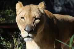 一只雌狮 图库摄影