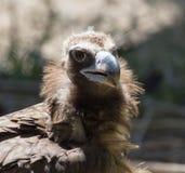 一只雕的画象在动物园里 免版税图库摄影