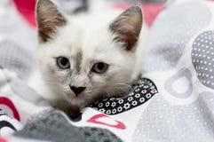 一只雪白小猫的画象在床上 库存图片