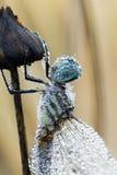 一只露水被透湿的蜻蜓 免版税库存照片