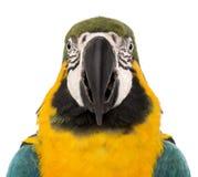 一只青和黄色金刚鹦鹉的正面图特写镜头, Ara ararauna, 30岁 库存照片