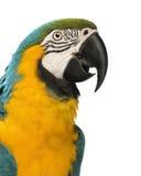 一只青和黄色金刚鹦鹉的特写镜头, Ara ararauna, 30岁 库存照片