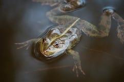 一只青蛙和昆虫的特写镜头画象在沼泽 免版税图库摄影