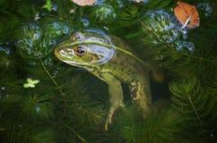 一只青蛙和昆虫的特写镜头画象在沼泽 库存图片