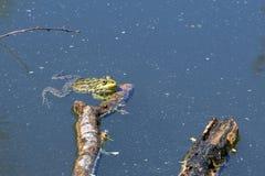 一只青蛙在池塘 免版税图库摄影