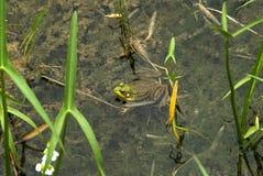 一只青蛙在池塘 库存照片