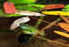 一只青蛙在秋天 库存照片