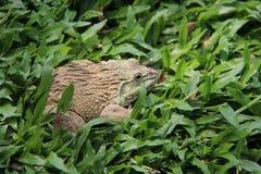 一只青蛙在绿草放松 免版税库存照片