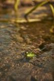 一只青蛙的宏观射击在水中 库存图片