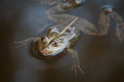 一只青蛙的特写镜头画象在沼泽的 库存图片