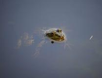 一只青蛙的特写镜头画象在沼泽的 库存照片