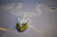 一只青蛙的特写镜头画象在沼泽的 免版税库存图片
