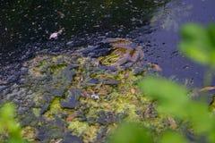 一只青蛙的画象在湖1 库存图片