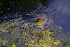 一只青蛙的画象在湖3 库存图片