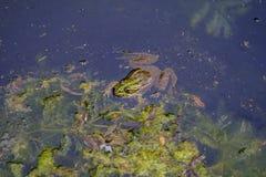 一只青蛙的画象在湖2 免版税库存照片