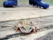 一只青蛙 免版税库存照片