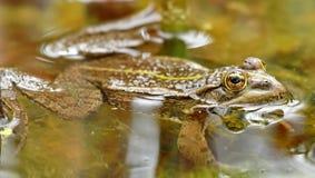 一只青蛙 库存图片
