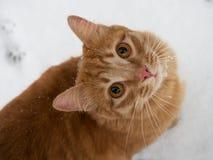 一只非常美丽的红头发人猫的特写镜头画象在新鲜的白色雪的 免版税库存照片