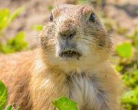 一只非常逗人喜爱,毛茸和传神草原土拨鼠的特写镜头画象在恶地国家公园 库存照片