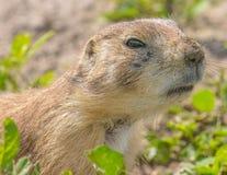 一只非常逗人喜爱,毛茸和传神草原土拨鼠的特写镜头画象在恶地国家公园 库存图片
