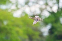 一只飞行在雨中的女性野鸭鸭子语录platyrhynchos 库存图片
