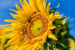 一只飞行蜂的特写镜头在向日葵的 库存图片