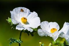 一只飞行蜂蜜蜂的特写镜头在白色多刺的鸦片Wildflowe的 库存照片