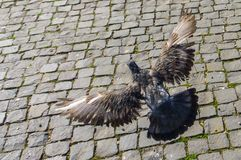 一只飞行鸽子在Unirii广场,科鲁Napoca 免版税库存图片