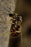一只飞过的蚂蚁的白种人垂直特写镜头侧视图  图库摄影