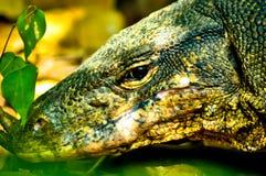 一只食肉动物的蜥蜴的眼睛 图库摄影