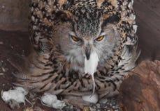一只饥饿的母欧洲产之大雕热切地吞食燕子,吸收老鼠 难满足的大鸷和一只小的无能为力的老鼠 图库摄影