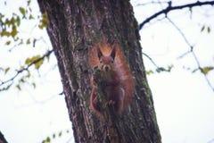 一只饥饿的灰鼠坐冬天树的分支 库存照片