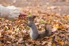 一只饥饿的灰鼠的画象 库存照片