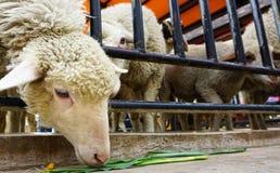 一只饥饿的绵羊 免版税图库摄影