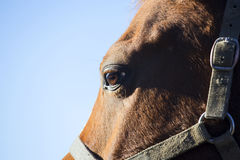 一只马眼睛的侧视图特写镜头反对蓝天背景的 库存照片