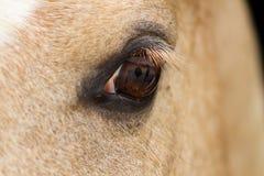 一只马` s眼睛的特写镜头与深刻的神色的,竞争aniaml 免版税库存照片